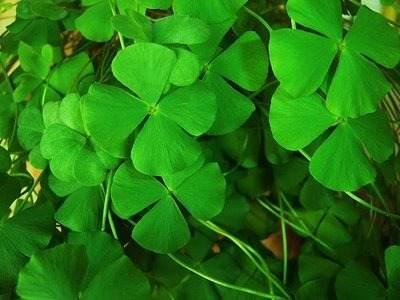 como atrair a sorte com trevo 4 folhas